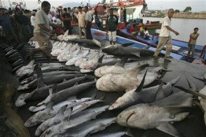 Sharks are displayed at Lampulo fish market at Indonesia's Aceh province June 5, 2008. REUTERS/Tarmizy Harva